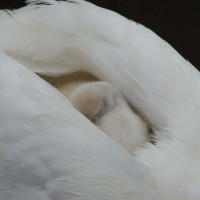 mother swan with baby sleeping on her back