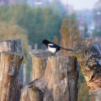 Magpie, Park Schinkel Islands park, fence of logs