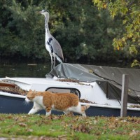 Heron carefully watching the cat