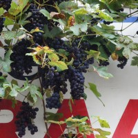 Grapes growing over a storefront on Kerkstraat