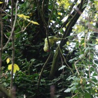 Pink ring-necked parakeets in the Sarphatipark
