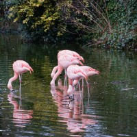 Pink flamingos in Artis, as seen from the street.